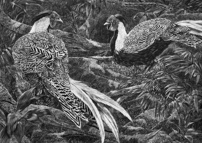 Silver Pheasant.Jackie Cox