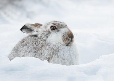 Mountain Hare - Karin Wilson